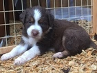Australian Shepherd Puppy For Sale in SHERRILLS FORD, NC