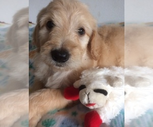 Goldendoodle Puppy for Sale in KALISPELL, Montana USA