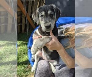 Goberian Dog for Adoption in EPHRATA, Pennsylvania USA
