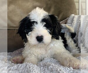 Sheepadoodle Puppy for sale in MANHEIM, PA, USA