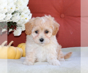 Poovanese Puppy for sale in PARADISE, PA, USA