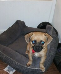 Cheeks Puppy For Sale in MORENO VALLEY, CA, USA