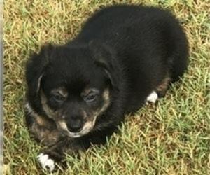 Australian Shepherd-Pembroke Welsh Corgi Mix Puppy for Sale in PORUM, Oklahoma USA