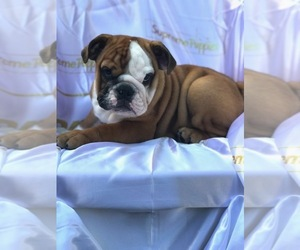 Bulldog Puppy for sale in ORLANDO, FL, USA
