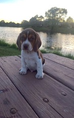 Beagle Puppy For Sale in NOVI, MI, USA