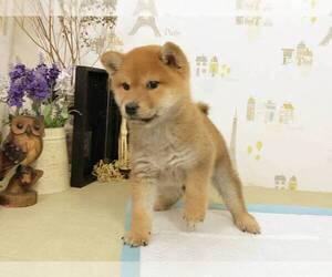 Shiba Inu Puppy for sale in SAN FRANCISCO, CA, USA