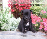 Small #2 Boston Terrier Mix