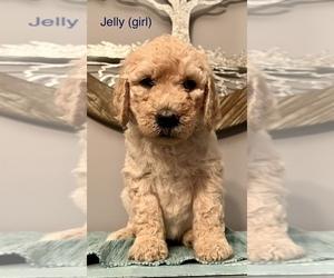 Goldendoodle Puppy for Sale in BARNESVILLE, Georgia USA