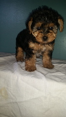 Poodle (Toy)-Yorkshire Terrier Mix Puppy For Sale in LEWISBURG, KY, USA