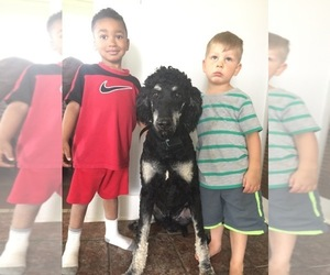 Father of the Goldendoodle-Poodle (Standard) Mix puppies born on 04/23/2019