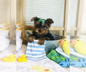 Yorkshire Terrier Puppy for sale in MANKATO, MN, USA