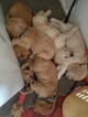 Male Cocker Spaniel Puppies for Sale