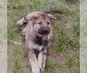 German Shepherd Dog Puppy for sale in BAILEYVILLE, KS, USA