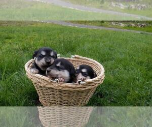 Goberian Puppy for Sale in UXBRIDGE, Massachusetts USA