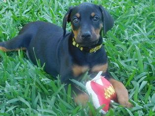Puppyfinder com: Puppies for sale near me in Houston, Texas