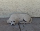 Golden Retriever Puppy For Sale in GILBERT, AZ, USA