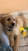 Golden Retriever Puppy For Sale in EL CAJON, CA, USA