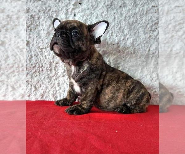 Medium Photo #1 French Bulldog Puppy For Sale in CHULA VISTA, CA, USA