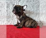 Small Photo #1 French Bulldog Puppy For Sale in CHULA VISTA, CA, USA