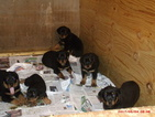 Rottweiler Puppy For Sale in DECATUR, GA, USA
