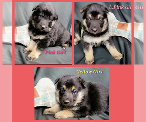 German Shepherd Dog Puppy for Sale in CENTRALIA, Oklahoma USA