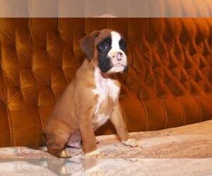 Boxer Puppy for sale in LAS VEGAS, NV, USA
