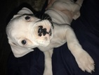Boxer Puppy For Sale in WASHINGTON, IA, USA