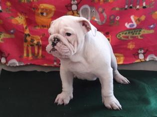 English Bulldog Puppy For Sale in NORTH LAS VEGAS, NV, USA