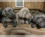 Image preview for Ad Listing. Nickname: Weim puppy