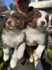 Australian Shepherd Puppy For Sale in WAUKEE, IA, USA