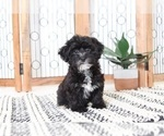 Jessica Joyful Little Female Yorkiepoo Puppy