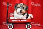 Biewer Terrier Puppy For Sale in SANGER, TX, USA