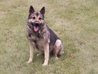German Shepherd Dog Puppy For Sale in SHREVE, OH, USA