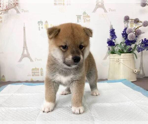 Medium Photo #3 Shiba Inu Puppy For Sale in SAN FRANCISCO, CA, USA