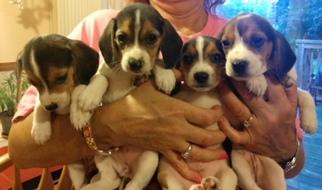 Beagle Puppy For Sale in WESTLAND, MI, USA