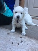 Golden Retriever Puppy For Sale in BUFORD, GA