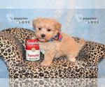 Small Maltipoo-Poodle (Toy) Mix