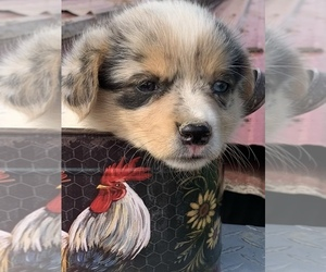 Australian Shepherd-Pembroke Welsh Corgi Mix Puppy for sale in SUMMERSVILLE, KY, USA