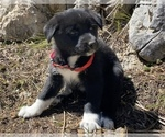 Puppy 4 Karelian Bear Dog