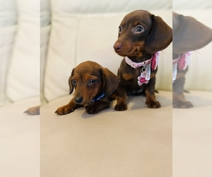 Dachshund Puppy for sale in LOWELL, MA, USA