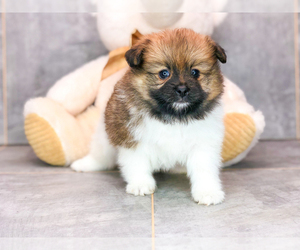 Pomeranian Puppy for sale in AMITY, NC, USA