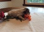 Cocker Spaniel Puppy For Sale in PATRICK SPRINGS, VA