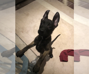 Belgian Malinois Puppy for sale in HOUSTON, TX, USA