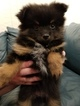 Pomeranian Puppy For Sale in CANBY, Oregon,