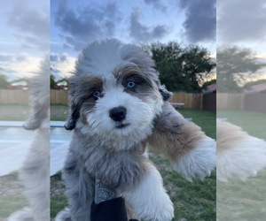 Bernedoodle Puppy for Sale in PALMETTO BAY, Florida USA