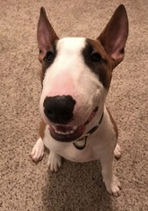 Miniature Bull Terrier Puppy For Sale in SPRING, TX, USA
