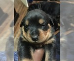 Rottweiler Puppy For Sale in CANTON, MI, USA