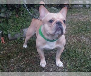 Father of the French Bulldog puppies born on 10/06/2020