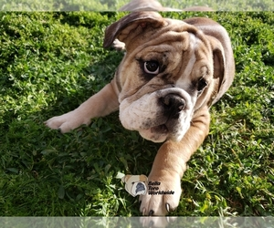 English Bulldog Puppy for Sale in MENIFEE, California USA