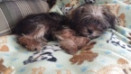 Hard to find Female Shorkie for sale